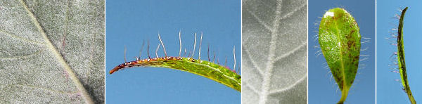Dryades Hairypelo.jpg