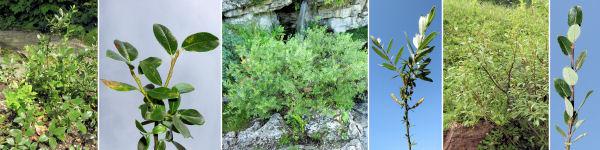 Dryades Salixair.jpg