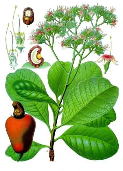 Fichier:Anacardium occidentale - Köhler–s Medizinal-Pflanzen-010.jpg