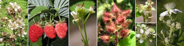 Dryades Rubusracemy.jpg