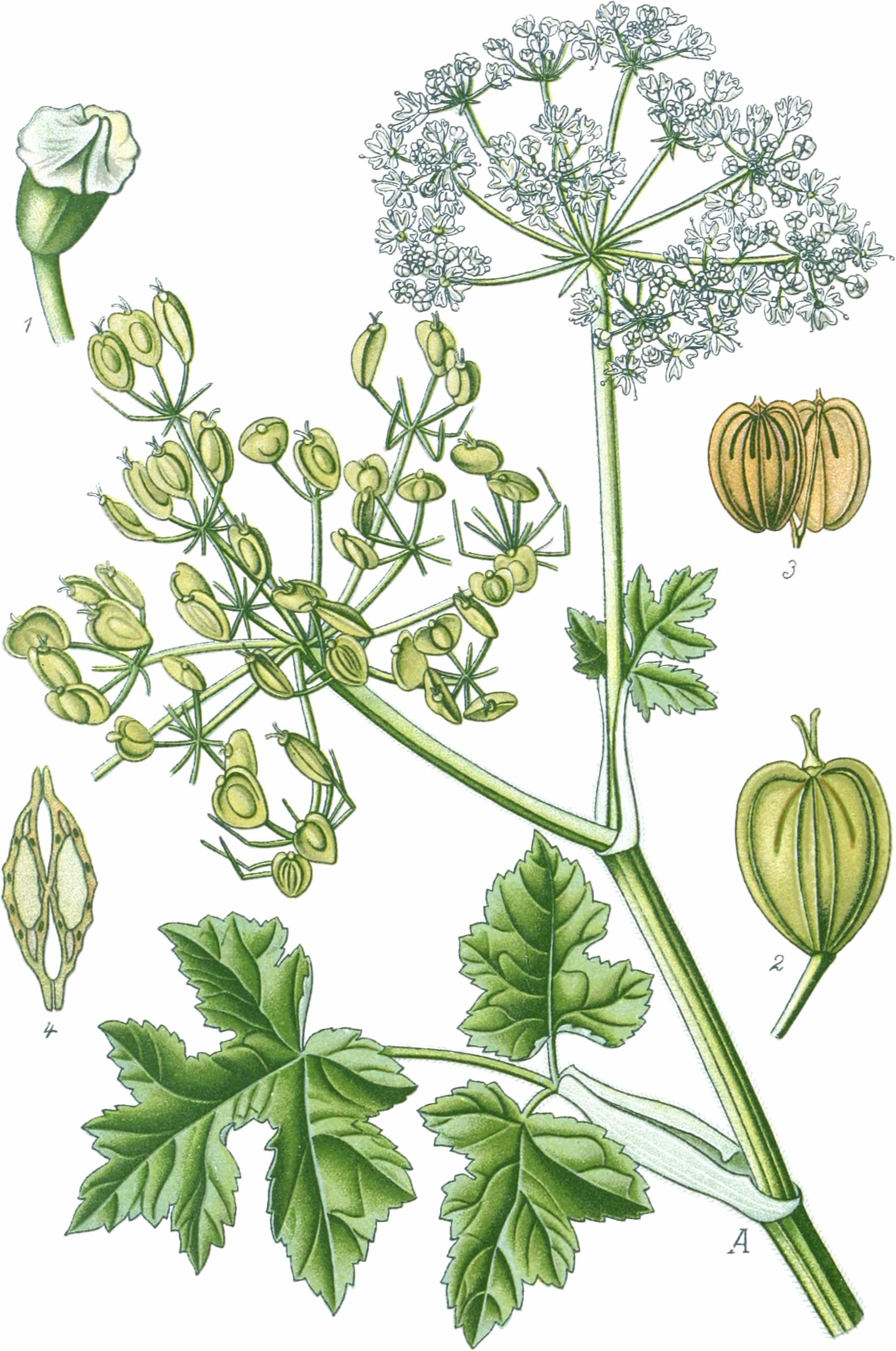 ATeil der Pflanze, 1Stempel; 2halbreife Frucht; 3Fruchtträger mit den Früchtchen; 4Fruchtquerschnitt. 1 bis 4 vergrößert—Abbildung nach Tafel 451 in Thomé & Müller u.a. (1905) verändert; Wiesen-Bärenklau, Gemeiner Bärenklau, Bärentatze and Gemeines Heilkraut