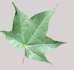 Acer cappadocicum single leaf grey background JR Press.jpg
