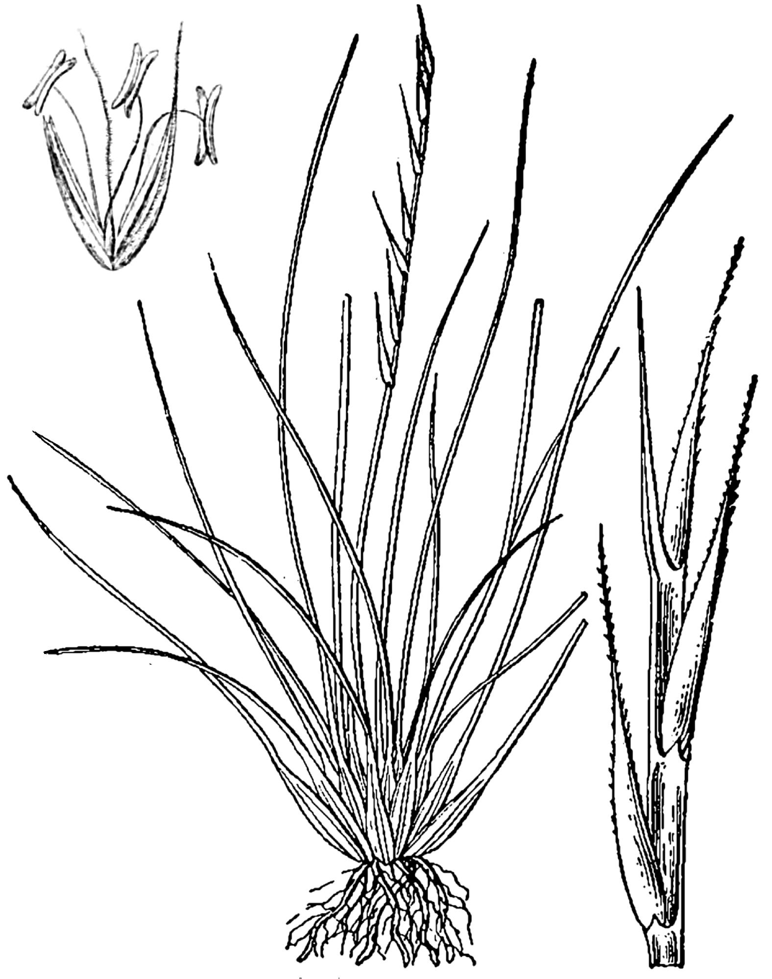 Abbildung aus Hartinger u.a. Bd.4, 1882 (Ährchen li.o.) und Britton & Brown (1913); Borstgras, Gemeines Borstgras and Borstengras