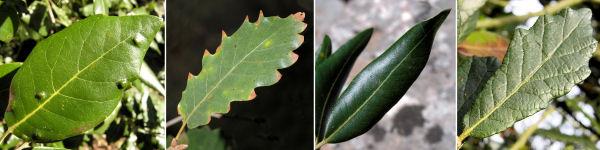 Dryades Scleryquercus.jpg