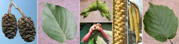 Dryades Corylualnus.jpg