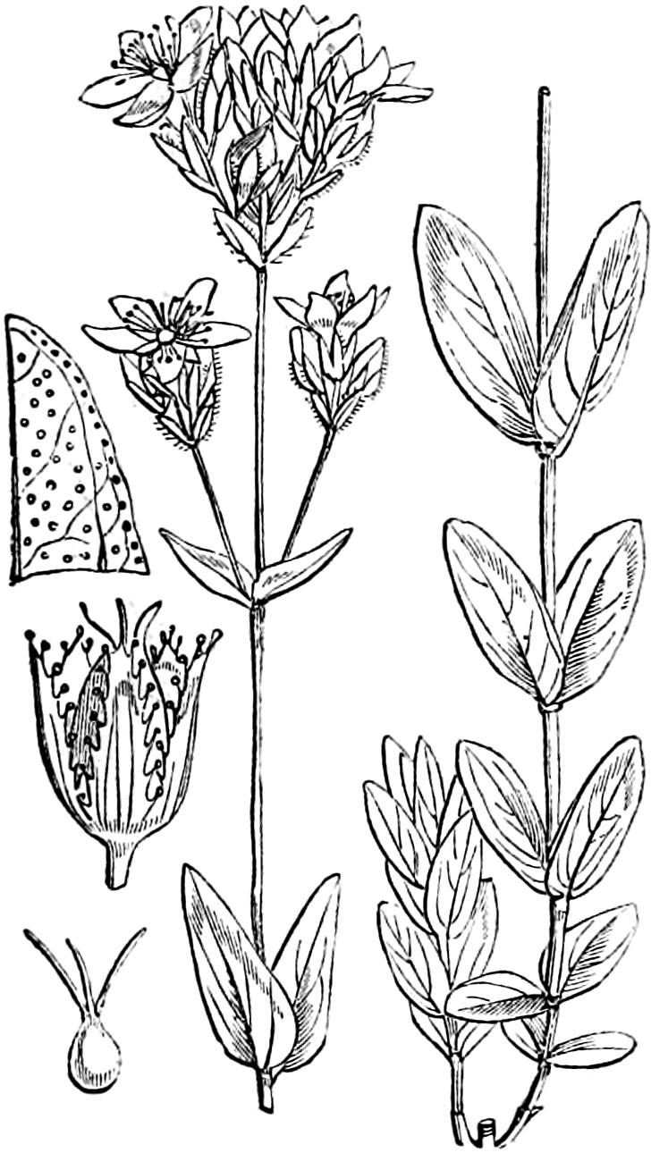 Zeichnung aus Illustrations of the British flora, Fitch u.a. 1880, Tafel 186; Berg-Hartheu and Berg-Johanniskraut