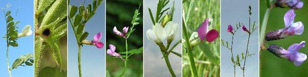 Dryades fiorisubsessili.jpg