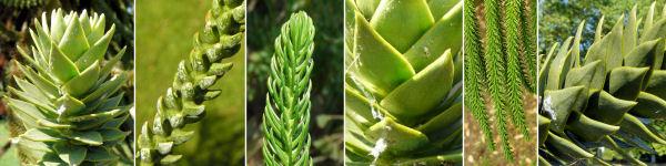 Dryades Araucaria.jpg