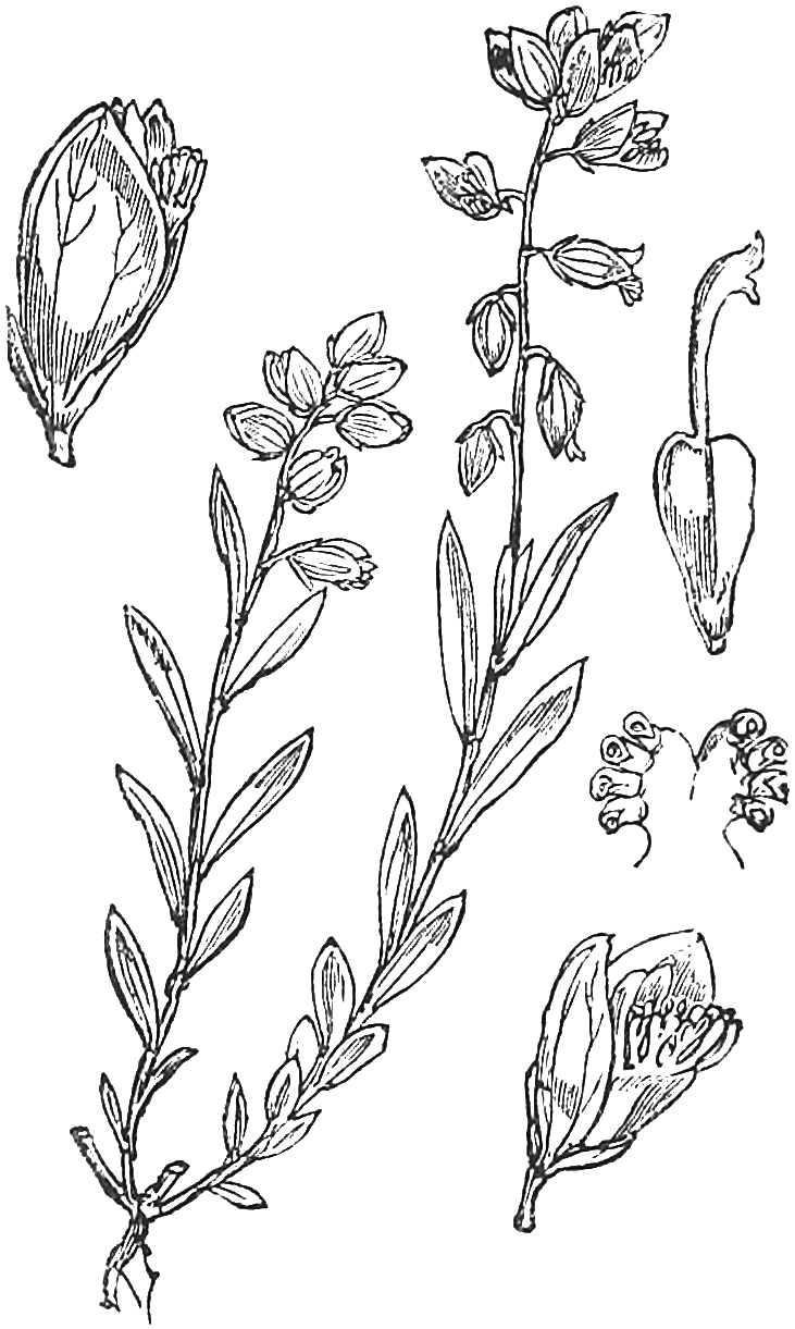 Abbildung 125 aus Fitch u.a. 1880; Gewöhnliche Kreuzblume, Gemeine Kreuzblume, Kreuzblümchen, Milchblume, Natterblume and Ramsel