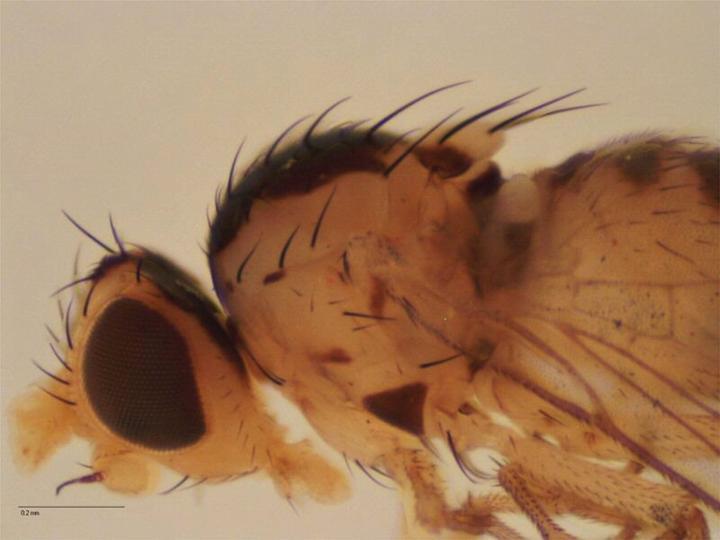 File:Liriomyza trifolii PaDIL136236b.jpg