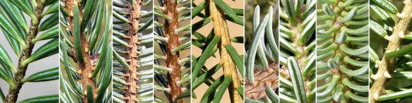 Dryades Piceabiespiruli.jpg