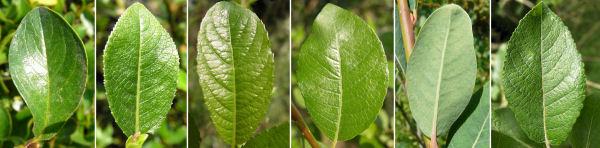 Dryades Salixlarghy.jpg