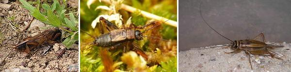 Gryllidae morphology.png