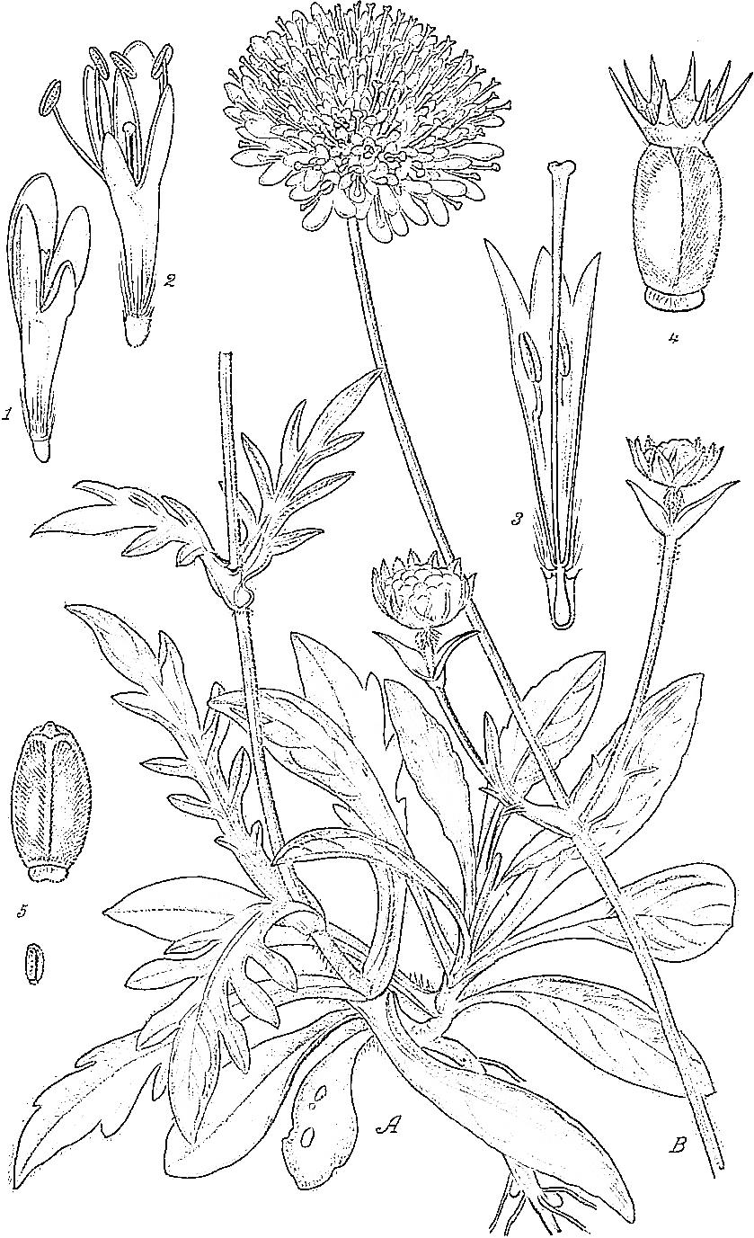 Abbildung modifiziert nach Masclef (1891, Bd.2, Tafel 163); Acker-Knautie, Acker-Wittwenblume and Wiesen-Witwenblume