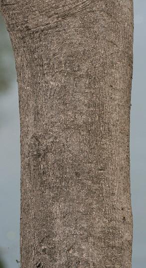 Fichier:Gmelina arborea bark I IMG 3543.jpg