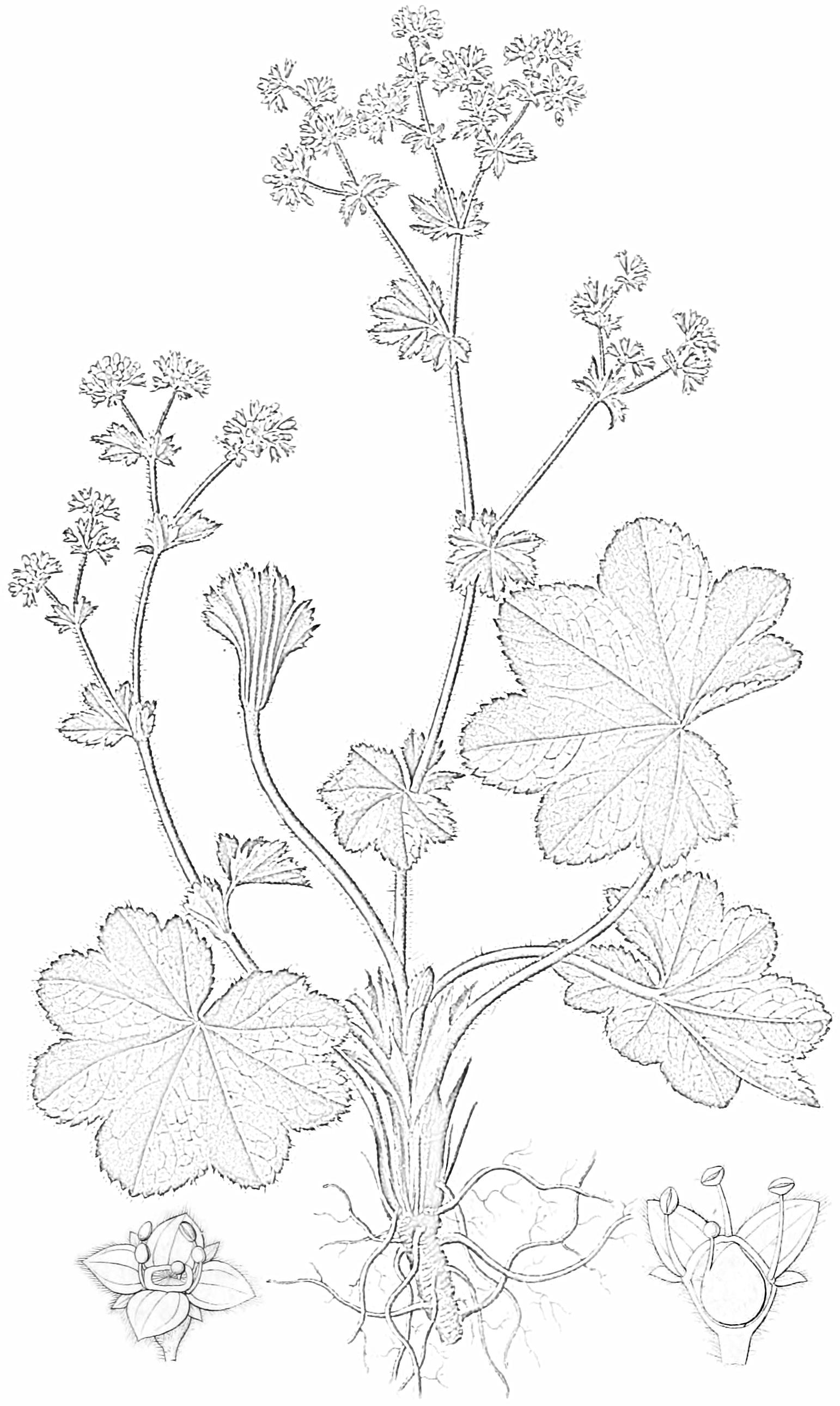 Abbildung aus Dietrich (Flora Regni Borussici Bd.7,  1839, Tafel 489); Frauenmantel, Gemeiner Frauenmantel, Echter Sinau, Taubecher and Löwenfuß
