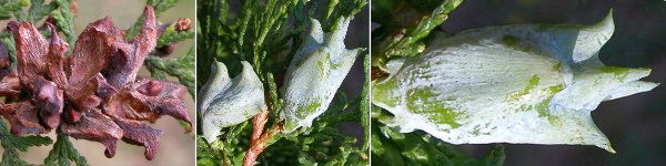 Dryades infruttiscenzeovali.jpg