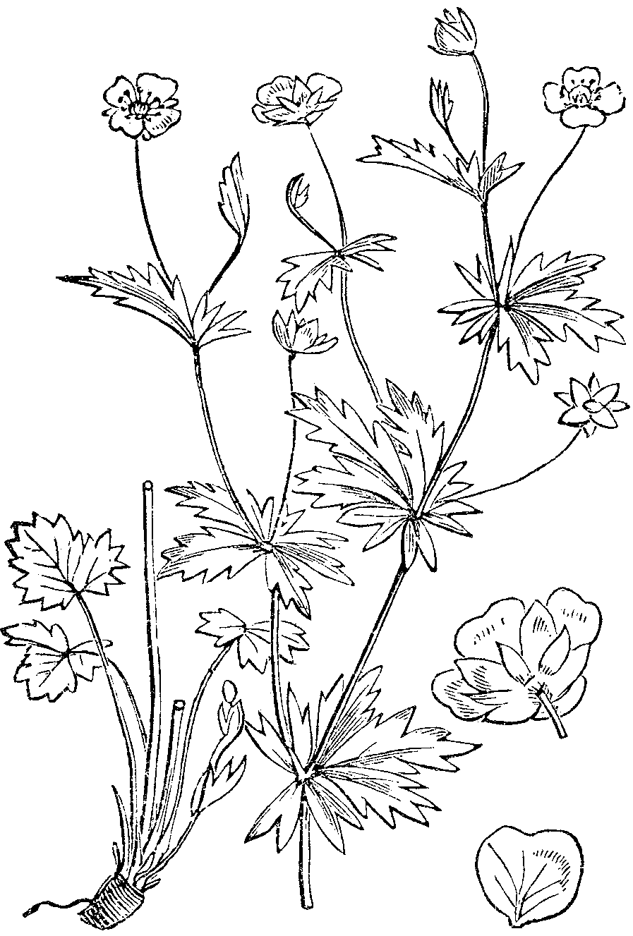 Abbildung aus Naše škodljive rastline (1892); Blutwurz, Birkwurz, Tormentill, Mooreckel, Ruhrwurz and Rotwurz