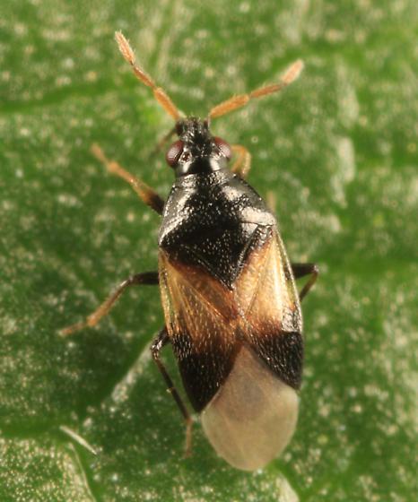 File:Orius insidiosus BugGuide463127.jpg