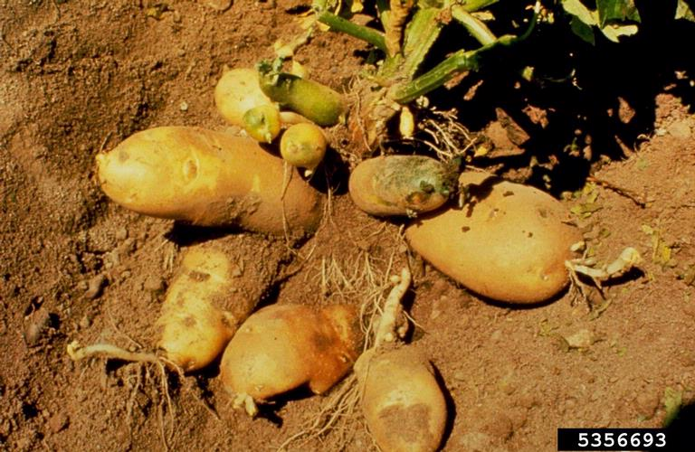 File:Potato spindle tuber viroid IPM5356693.jpg