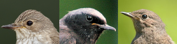 Small birds with gray back having a head without patterns.png