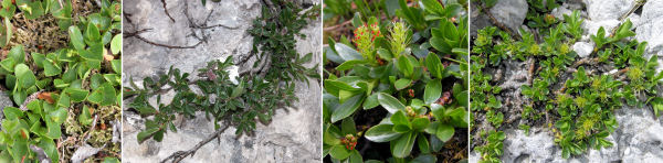 Dryades Salixnaniprostraty.jpg