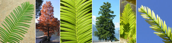 Dryades Taxodimetasequoia.jpg
