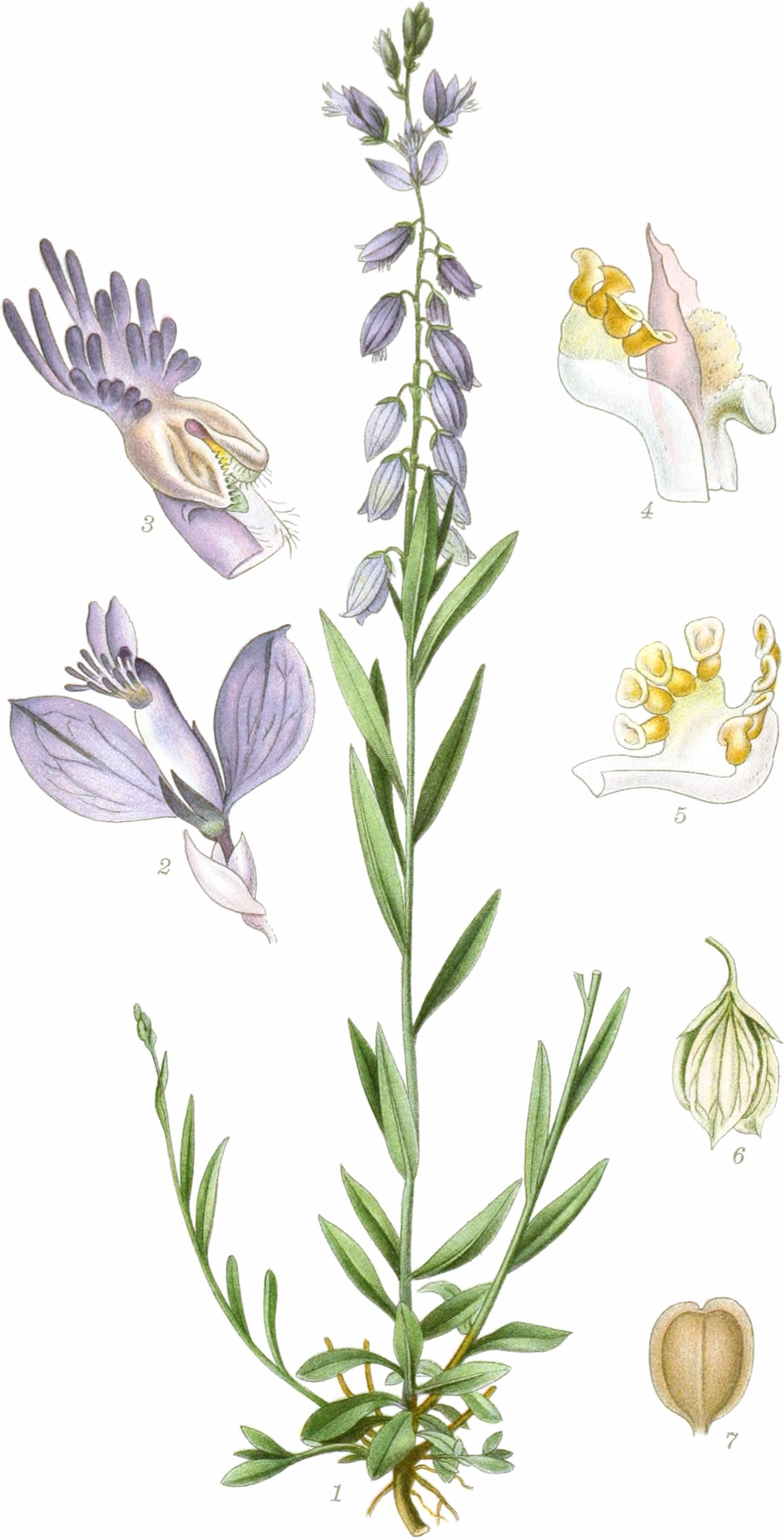 1.Einzelne Pflanze, von denen mehrere Schösslinge abgeschnitten sind. 2.Blüte an der Basis mit 3 Hochblättern (3/1). 3.das Schiffchen und die darin enthaltenen Fortpflanzungsorgane (12/1). 4.Staubblatt-Röhre mitsamt der Stempel; zwischen den Klappen liegt eine Staubmasse (28/1); selbige Ansicht wie in Abb.3. 5.Blick von der Innenseite des Staubblattbündels (28/1). 6Die Frucht, umgeben von den beiden Kelchblättern (2/1). 7Reife Früchte (2/1).—Abbildung aus Mentz & Ostenfeld (1917-1923); Gewöhnliche Kreuzblume, Gemeine Kreuzblume, Kreuzblümchen, Milchblume, Natterblume and Ramsel