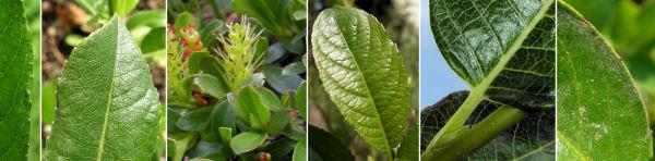 Dryades Salixnopelosy.jpg