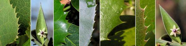 Dryades Ruscuspinosy.jpg