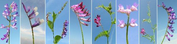 Dryades fioriracemosi.jpg