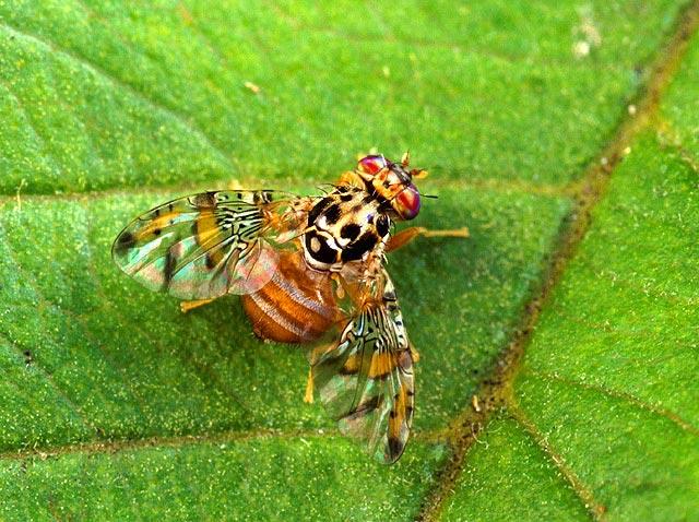 File:Male medfly.jpg