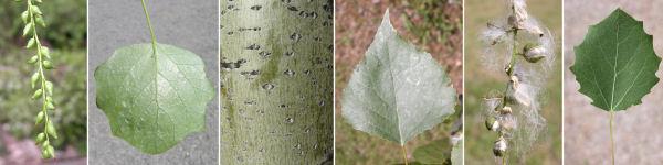Dryades populus.jpg