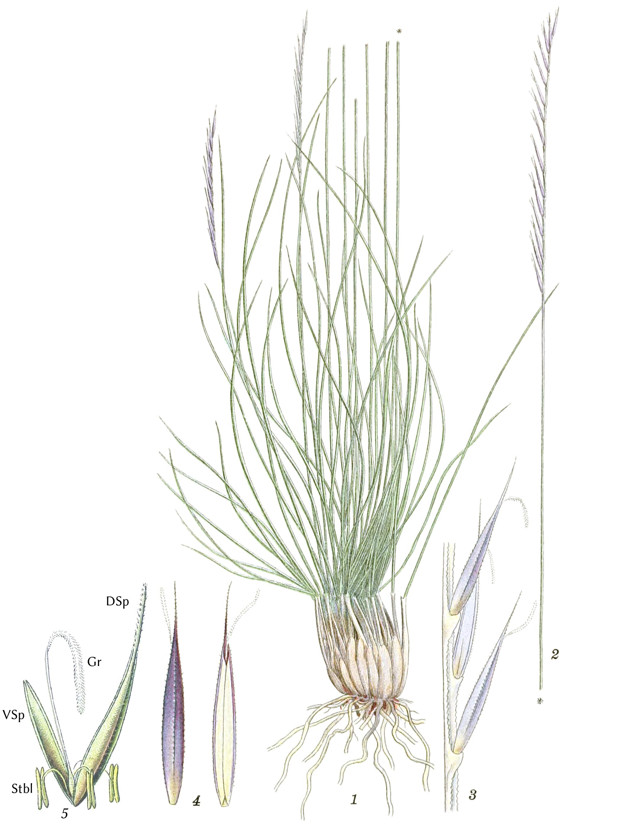 1Einzelpflanze mit angeschnittenem Halm. 2Ähre. 3ein Abschnitt derselben (5/1). 4Ährchen, von zwei gegenüberliegenden Seiten gesehen (6/1). 5Ährchen: DSp–Deckspelze, VSp– Vorspelze, Stbl– Stäubblätter, Gr– Griffel—Abbildungen 1–4 aus  Mentz & Ostenfeld (1917); 5: Thomé & Müller (1886); Borstgras, Gemeines Borstgras and Borstengras