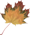 Datei:Autumn Norway Maple Leaf icon.png