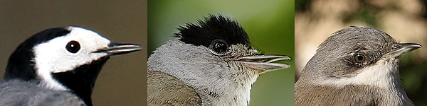 Small birds with gray back having a head with patterns.png