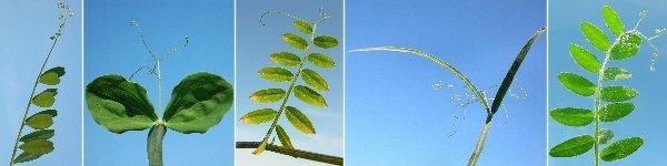 Dryades VR foglie cirri.jpg