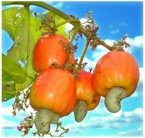 Fichier:Cashew Apple.jpg