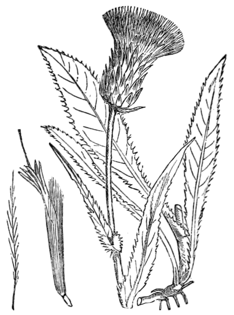 Abbildung modifiziert nach Fitch u.a.: Illustrations of the British flora (1880, Fig. 563); Alantdistel and Verschiedenblättrige Kratzdistel