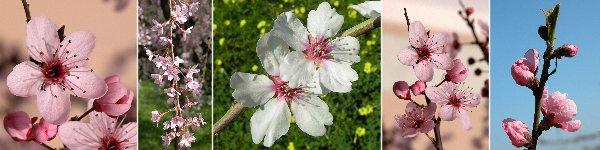 Dryades rosa prunuspersica.jpg