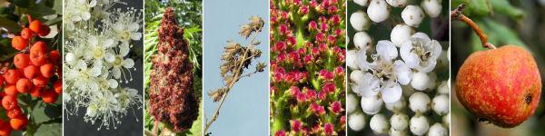 Dryades Sorbusorba.jpg