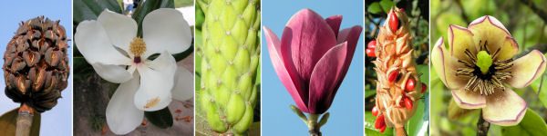 Dryades Magnolia.jpg