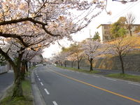 Cherry blossom trees in Japan, by Masahiro Nishiguchi, CC-by-sa 3.0