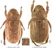 Adoretus sinicus Journal of Insect Science 2011 11 64a.jpg