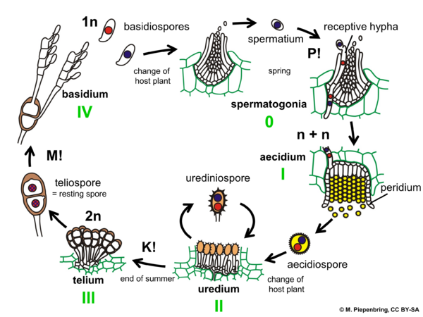 Life cycle of Puccinia graminis on a grass, Pucciniales Basidiomycota (diagram by M. Piepenbring)