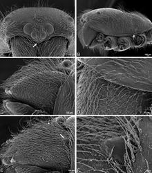 Figure 56. A–F Gandanameno sp., scanning electron micrographs of prosoma and chelicerae. A–D male from Harare, Zimbabwe (AcAT 2005/123, NCA) E, F male from Hanover, South Africa (SAM 9465, SAM) A prosoma, anterior view, arrow indicates clypeal hood B prosoma, lateral view C, E left chelicerae, lateral view, arrow in E indicates cheliceral boss D detail of left chelicerae showing absence of cheliceral boss F detail of left chelicerae showing cheliceral boss.