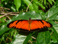 'Flambeau' or Flame Butterfly. Dione juno.Heliconiinae - Flickr - gailhampshire.jpg