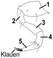 Laufbeine 5-gliedrig