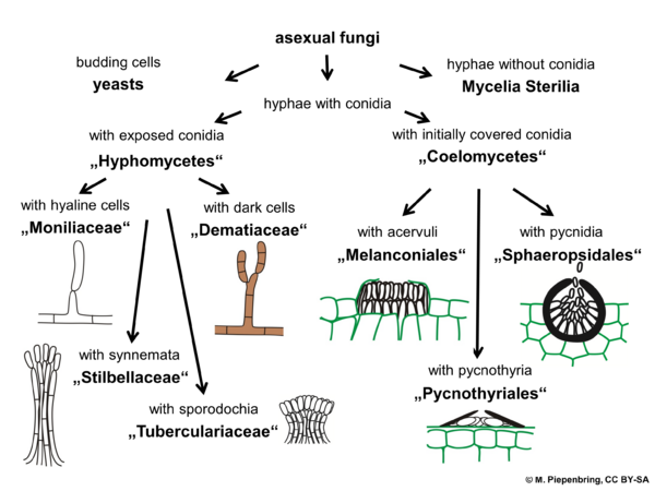 Morphological groups, asexual fungi, imperfect fungi (diagram by M. Piepenbring)