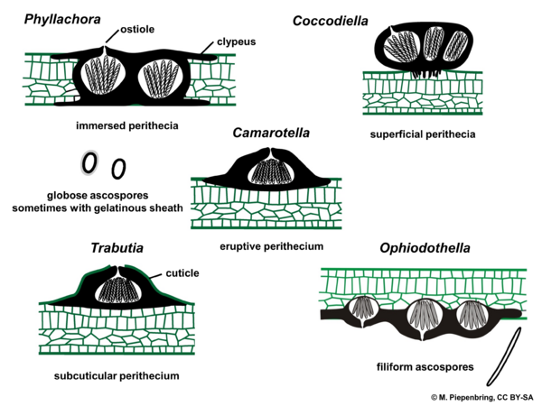 Fruiting bodies, Phyllachorales, Ascomycota (diagram by M. Piepenbring)